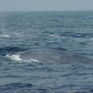 Whale Watching in Mirissa