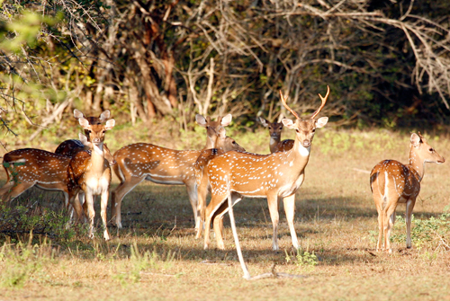 Deers at Wasgamuwa National Park