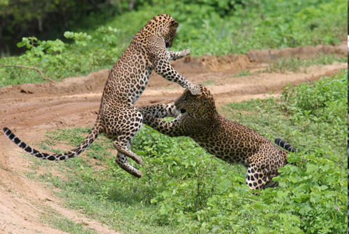 Leopard fight - Yala national park