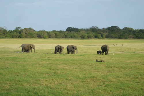 Elephants at Maduru Oya National park