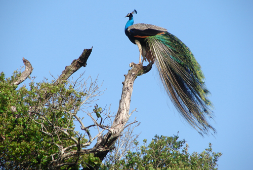 Peacock at Wasgamuwa National park