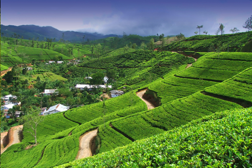 Beautiful Tea Estate