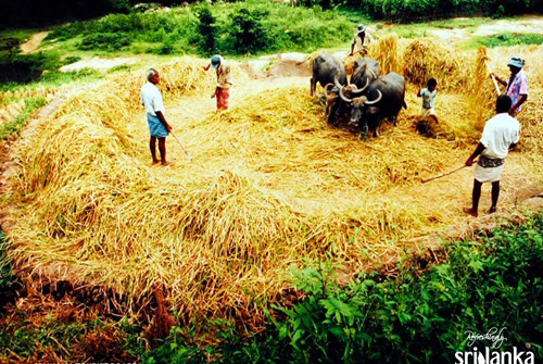 Working on a threshing-floor
