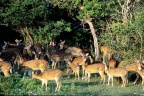 Herd of deer watchful eyes Sri lanka