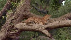 Leopard Sleeping after a heavy meal  in Sri Lanka